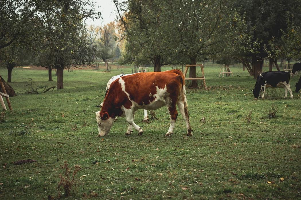 Koeien en weides zijn onlosmakelijk met elkaar verbonden